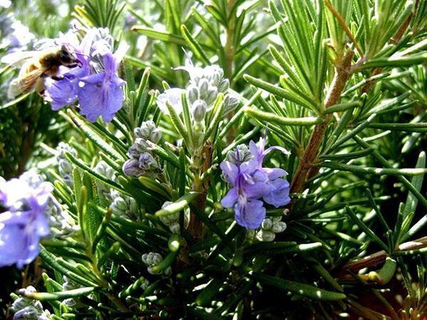 цветет розмарин