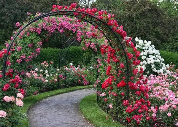 пергола с вьющими розами
