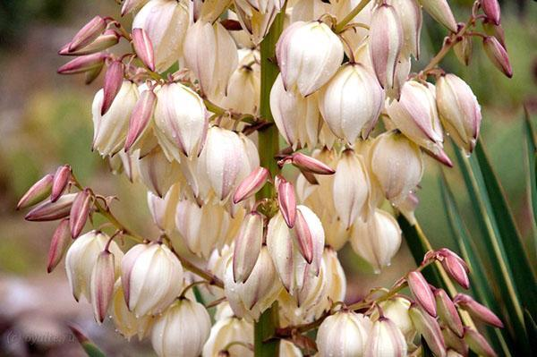 цветет юкка