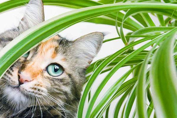кошки и хлорофитум
