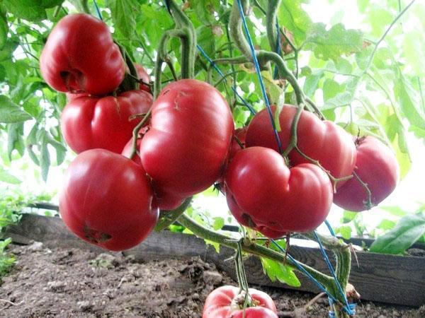 помидор розовый мед