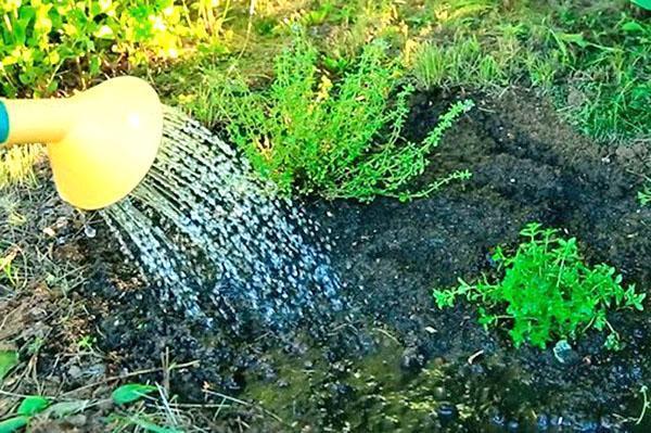 полив тимьяна