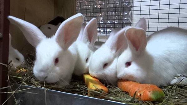 лозеваль для лечения кроликов