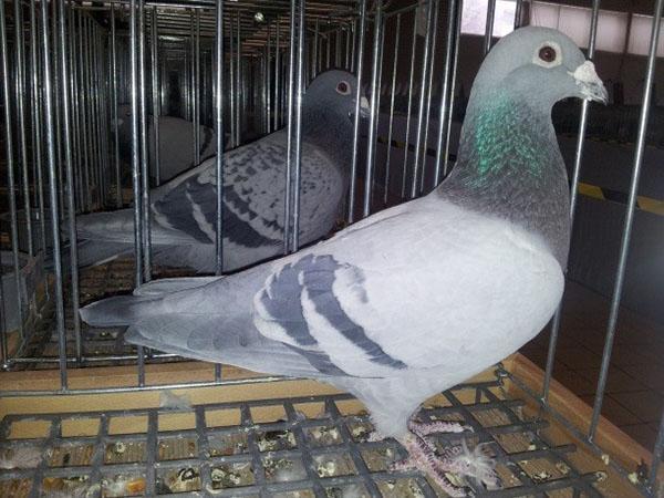 лозеваль для лечения голубей