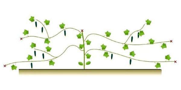 формирование огурцов в несколько стеблей