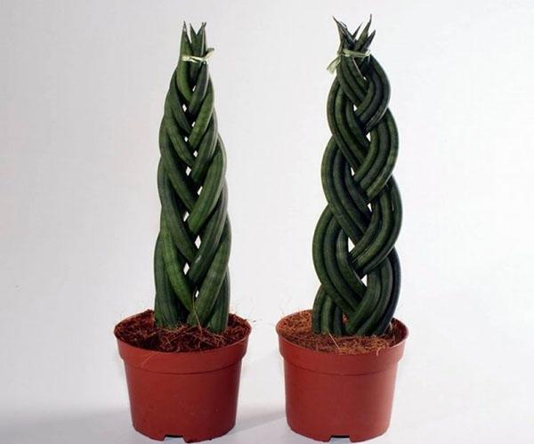 формировка растения