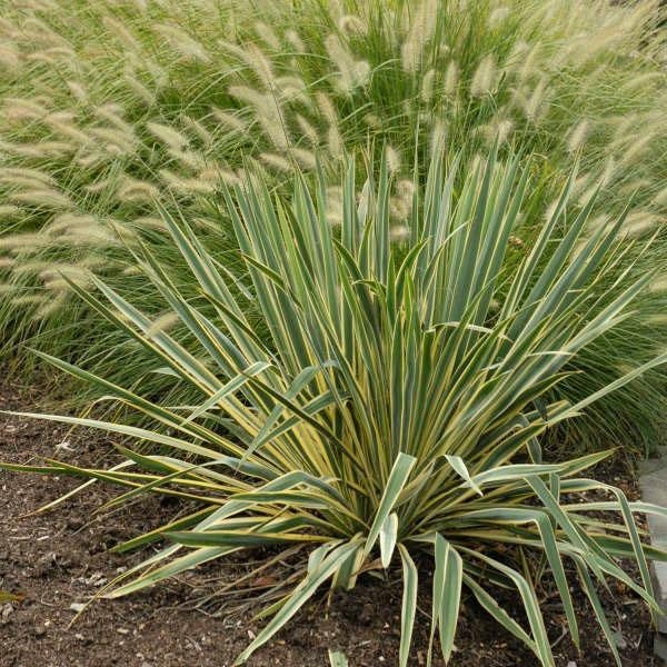Yucca filamentosa сорта Bright Edge