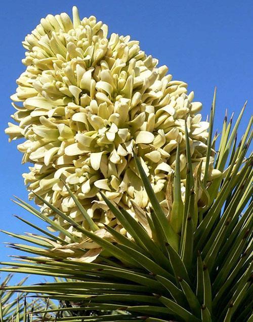 цветы древовидной юкки