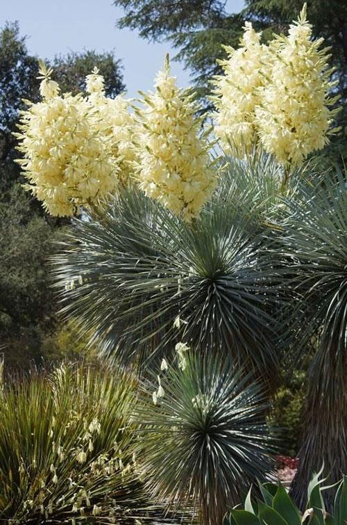 Цветение Yucca rostrata