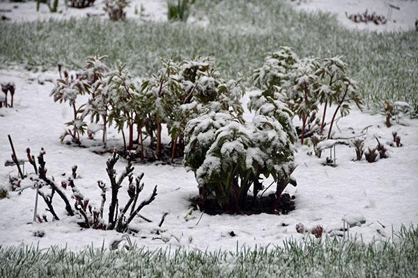 зимовка пиона древовидного