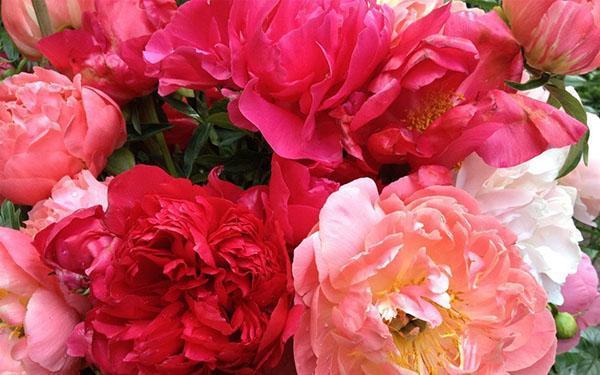 цветы древовидного пиона