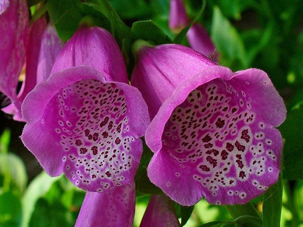 длительное цветение