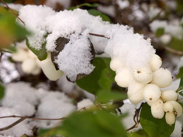 виды снежноягодника в саду