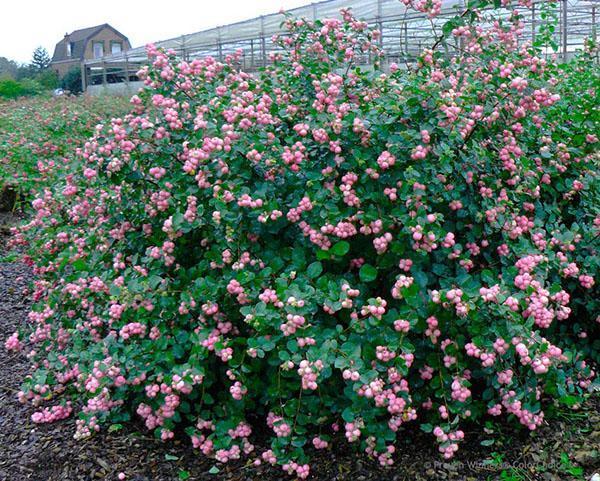 розовые ягоды снежноягодника