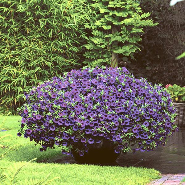 калибрахоа в саду