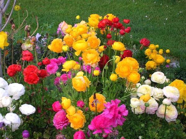выращивание лютиков садовых