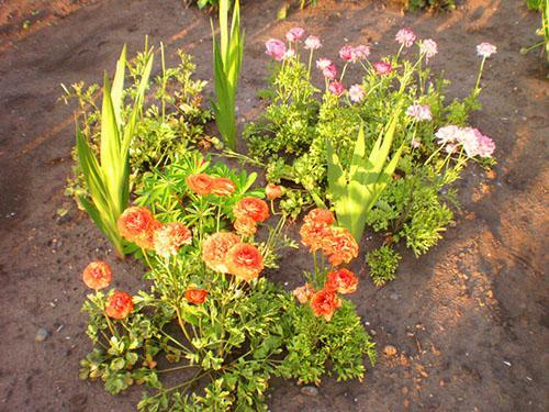 выращивание лютиков в саду