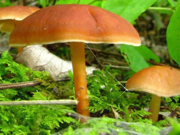 спелый гриб