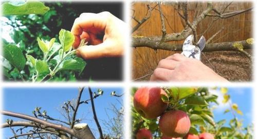 когда обрезать яблони