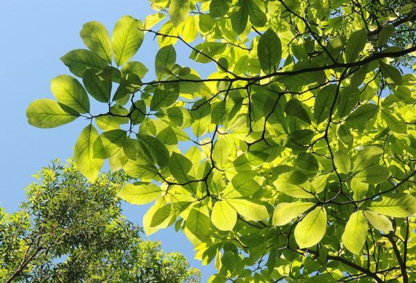 листья магнолии суланжа