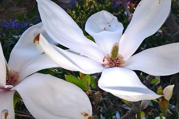 белые цветы магнолии