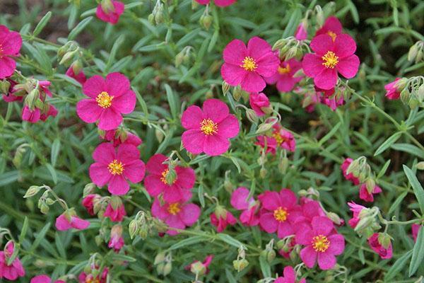 цветет нежник