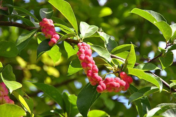 Листья и плоды магнолии кобус
