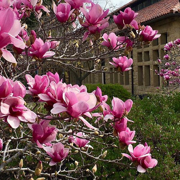 розовая магнолия Суланжа