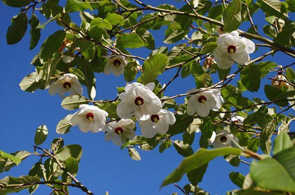 Цветение магнолии Зибольда