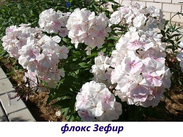 Флокс Зефир