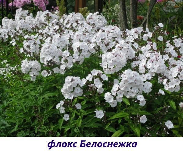 Флокс Белоснежка