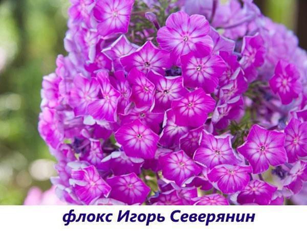 Флокс Игорь Северянин