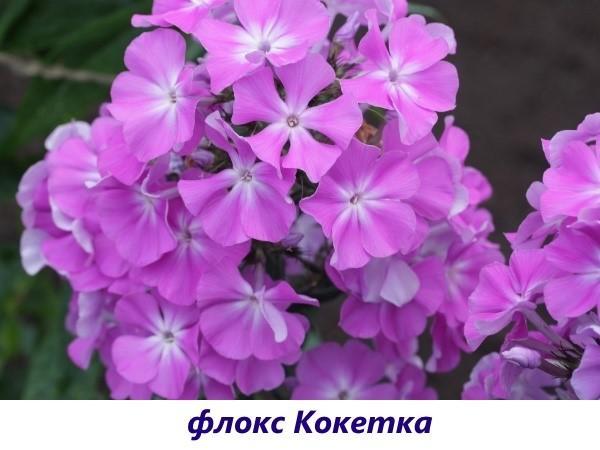 Флокс Кокетка