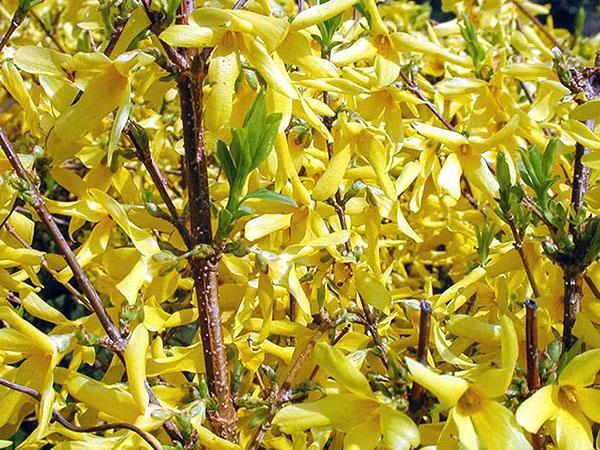 сорт «Forsythia intermedia»