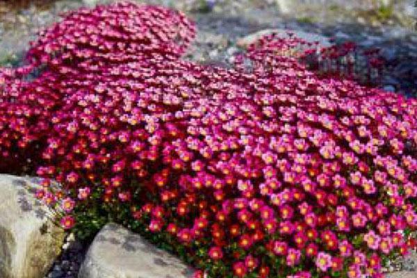 карминово-красная камнеломка