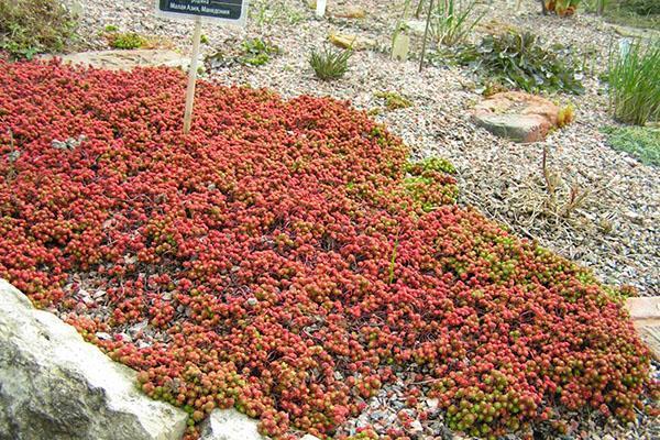 цветет очиток лидийский