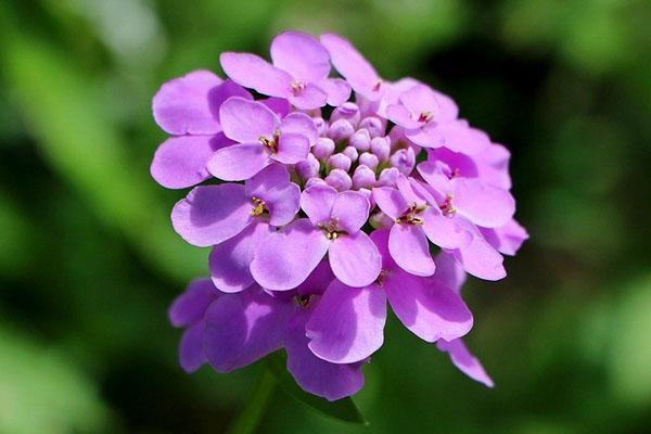 цветет два раза за сезон