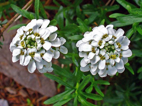белые цветы ибериса