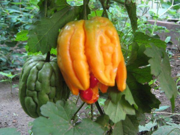 выращивание момордики в саду