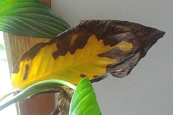 желтые пятна на листьях канны