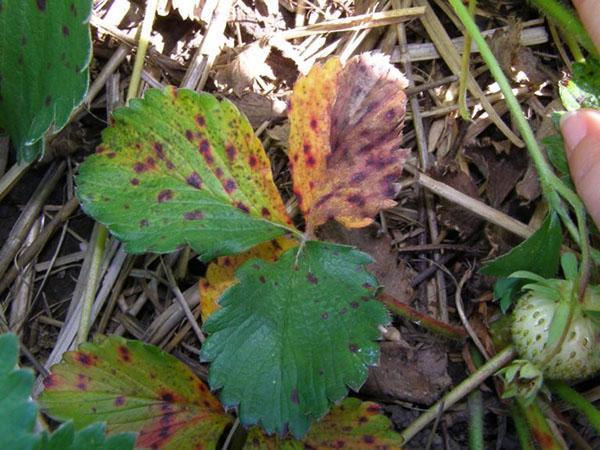 желтеют и сохнут листья