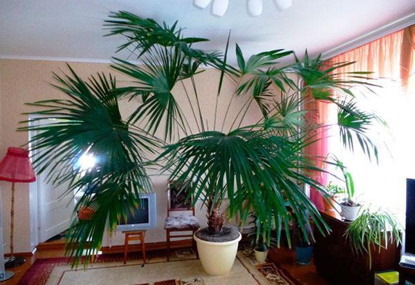 болезни пальмы в домашних условиях