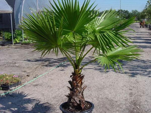 комфортные условия для пальмы