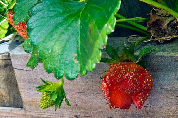 поврежденная ягода клубники