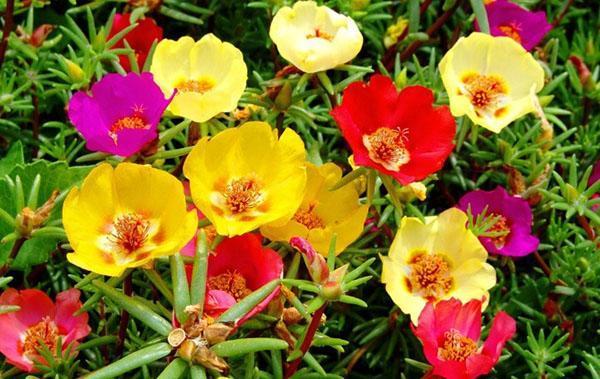 цветет портулак