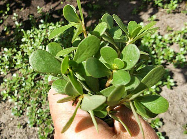 растение с лечебными свойствами