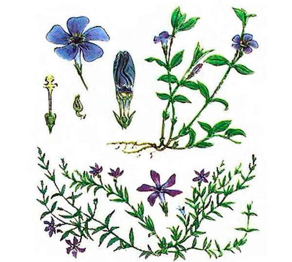 для приготовления настоек используют цветы и листья