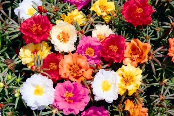 княжеский коврик смесь цветов