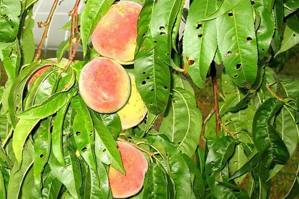повреждение персика