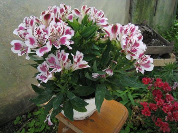 выращивание альстромерии в домашних условиях
